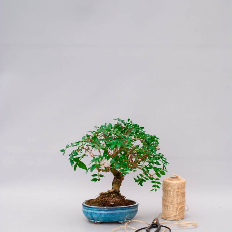 Картинки фисташкового дерева в природе