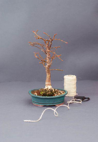 Купить дерево бонсай в Киеве Украине Выращивание уход